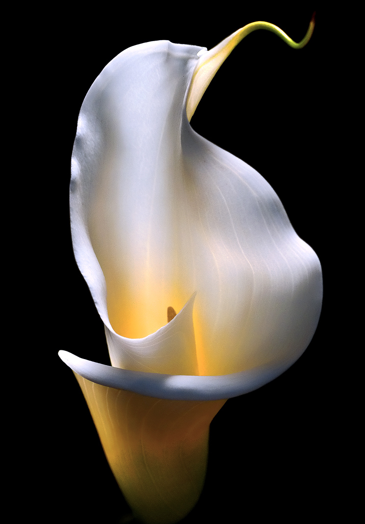 calla-lily-1-2011-color